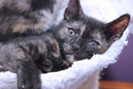 Dette er en tri-color calico-katt som hviler