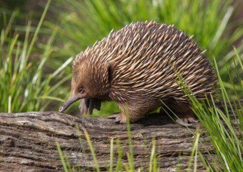 Har du hørt om det merkelige australske maurpiggsvinet?