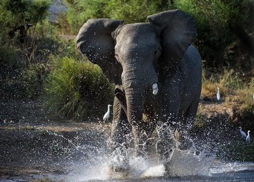 Hva er mustperioden til elefanter?