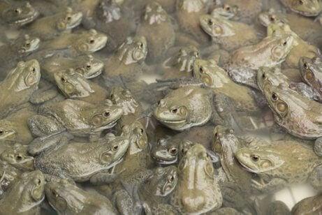 Et stort antall babyfrosker
