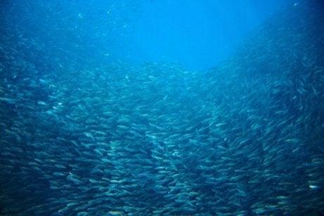 Sardiner som vandrer i havet
