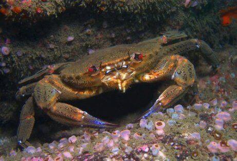 Krabber og fløyelskrabber i vannet