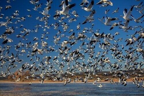 Fantastiske massevandringer i dyreriket