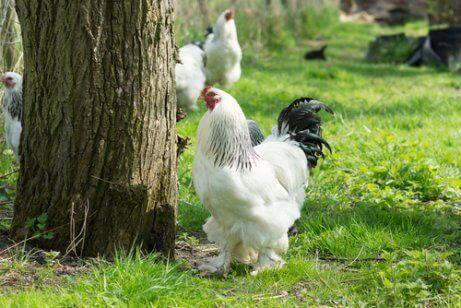 Hvit brahma-hane som står ved siden av et tre