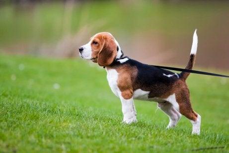 En hund i bånd