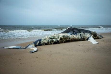 Hvorfor eksploderer hvaler etter å ha dødd?