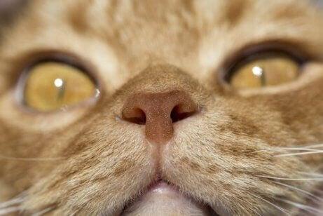 Et nærbilde av kattens nese