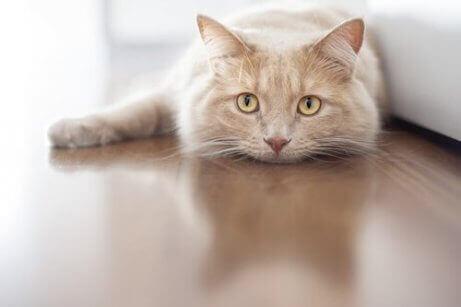 En katt som legger seg på gulvet