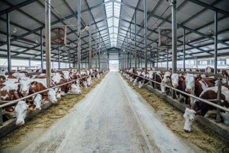 Kyr plassert i et fjøs