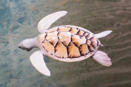 En hvit skilpadde som svømmer