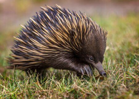 det australske maurpiggsvinet i en eng