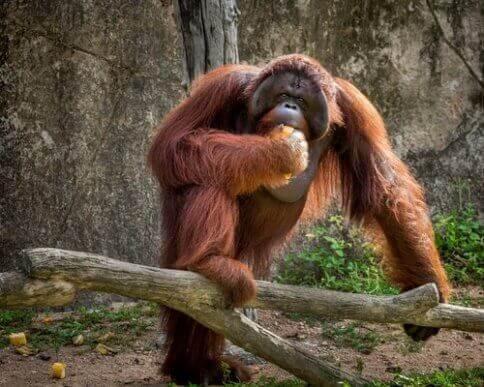 Et fantastisk orangutang-eksemplar spiser litt frukt