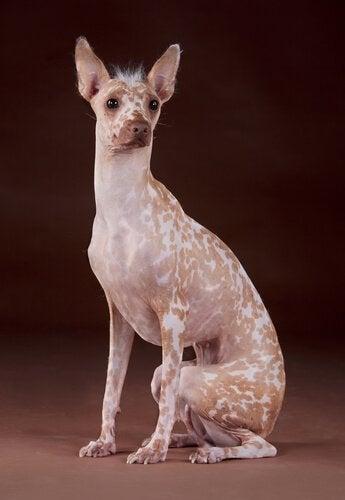 Peruviansk nakenhund er en av de merkeligste hunderasene