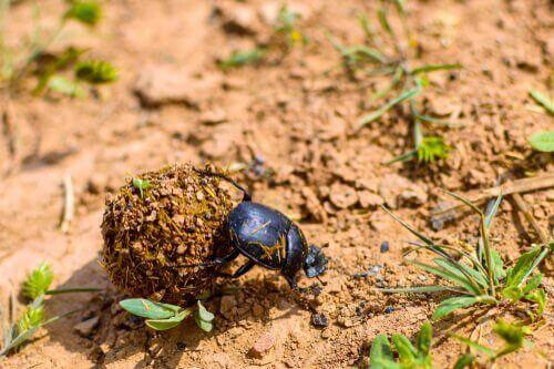 Gjødselbiller: Den merkelige pilletrillebillen