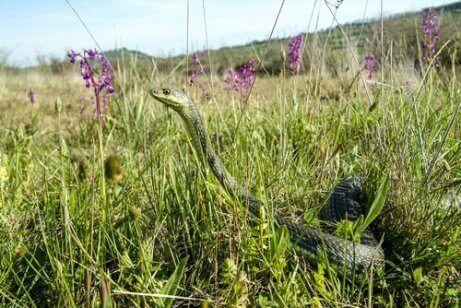 En slange i gresset