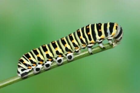 Svalestjertlarve er en av de vanligste sommerfugllarvene