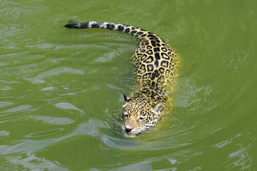 Jaguarer bor gjerne i nærheten av vannmasser.