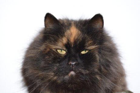 Dette er en langhåret svart og oransje calico-katt