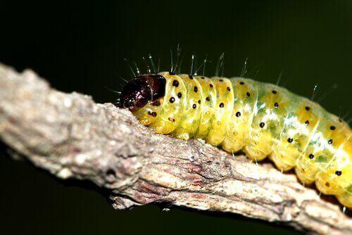 De syv vanligste sommerfugllarvene