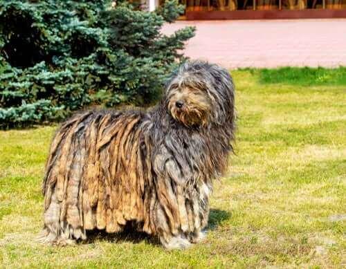 En bergamasco er en gjeterhund med et annerledes utseende