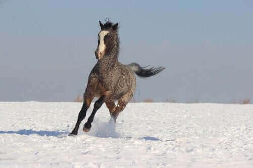En curlyhest som løper gjennom snøen