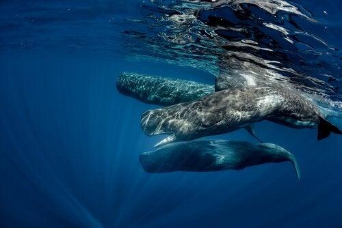 En gruppe spermhvaler; verdens største rovdyr