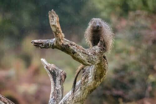 En herpestes-ichneumon (deres vitenskapelige navn) står på et tre.