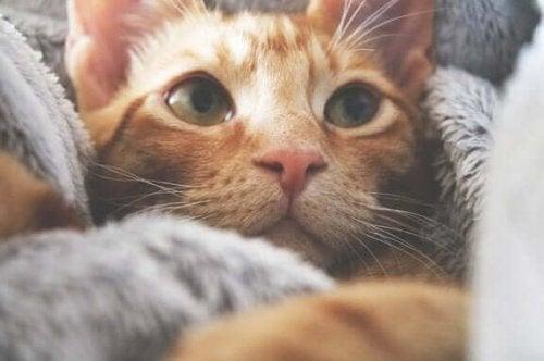 En katt pakket inn i et teppe.