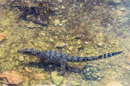 En kubansk krokodille som svømmer