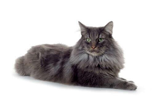 En mørkhåret katt ligger i et hvitt rom.