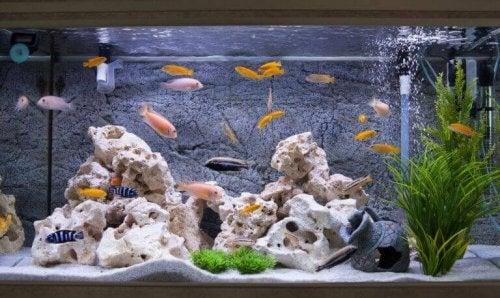 Fisker som svømmer rundt i et hjemmekvarium.