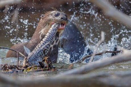 En kjempeoter som fanger en fisk.