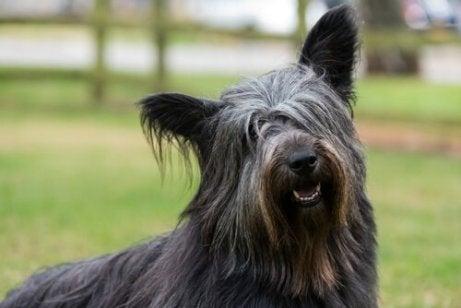 En hårete hund