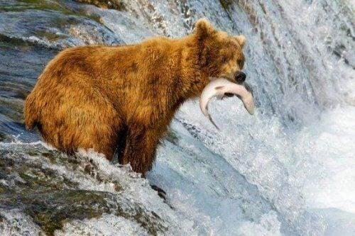 Hva er forskjellen mellom brunbjørn og grizzlybjørn?