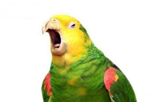 Forstår papegøyer hva de sier?
