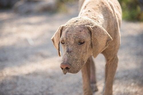 Hvordan identifisere og behandle skabb hos hunden