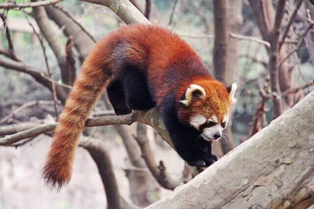 Den røde pandaen er kjent for sin lange hale.