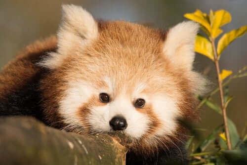 En søt, liten rød panda-unge.