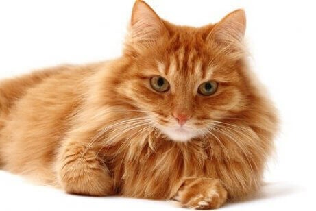 En oransje katt som ligger