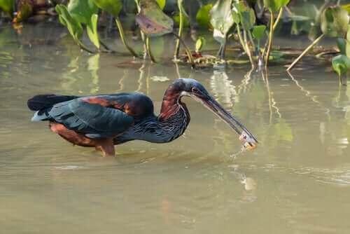 Fuglen sverdhegre: Habitat og karakteristikker