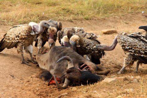 En gruppe gribber som omgir et storfe
