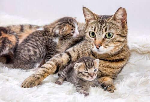 Hvordan og når bør du flytte nyfødte kattunger?