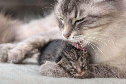 Kattemor og nyfødte kattunger