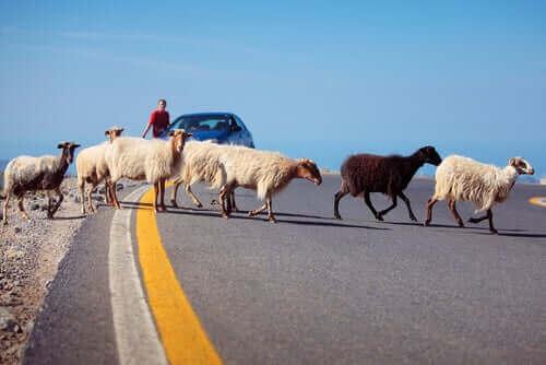 En gruppe geiter som krysser veien