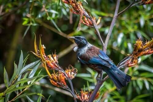 Fuglen tuihonningeter er ikke redd for å forsvare maten sin.