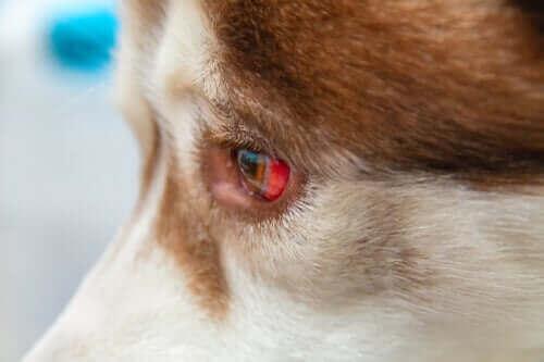 Subkonjunktival blødning hos hunder og hvordan det behandles