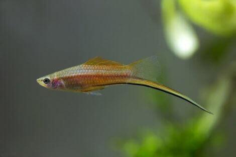 En fisk med en sverdlignende hale