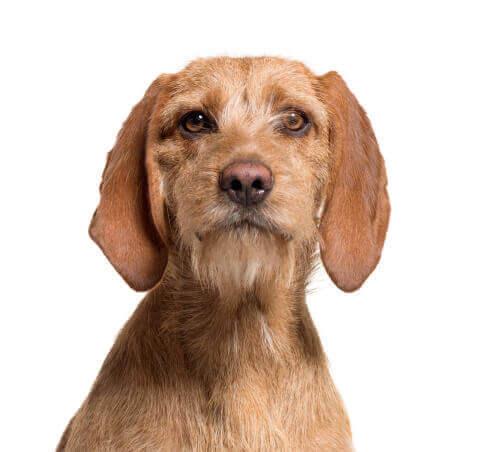 En hund som ser i kameraet