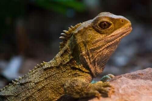 Reptilet broøgle: En levning fra dinosaurtiden