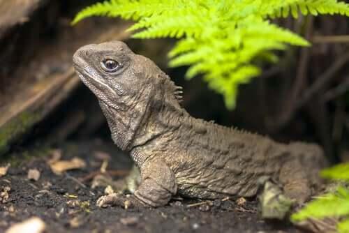 Reptilet broøgle er en levning fra dinosaurtiden.